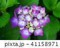紫色のあじさい3 41158971