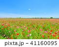 ポピー 花 花畑の写真 41160095