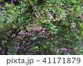 アケビ 五葉木通 木通の写真 41171879