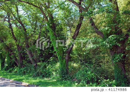 佐渡の樹木 41174986