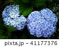 人気の新種あじさい万華鏡(まんげきょう)の写真 41177376