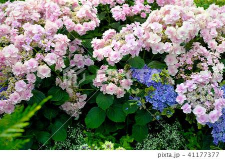 紫陽花(あじさい)の種類、色々な品種の写真 41177377