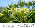 花 植物 トベラ科の写真 41178117