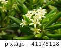 花 植物 トベラ科の写真 41178118