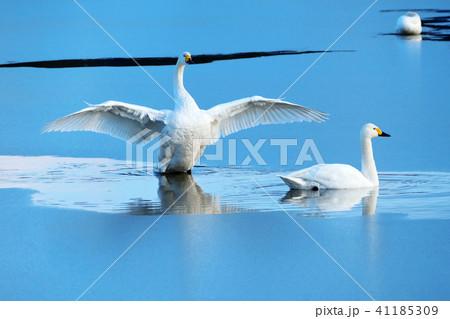 白鳥(コハクチョウ)の高画質写真 41185309