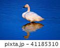 白鳥(コハクチョウ)野鳥の高画質写真 41185310
