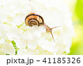 あじさいとカタツムリ・梅雨イメージ 41185326