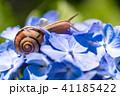 あじさいとカタツムリ・梅雨イメージ 41185422