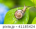 あじさいとカタツムリ・梅雨イメージ 41185424