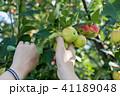 りんご アップル リンゴの写真 41189048
