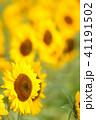 植物 花 ひまわりの写真 41191502