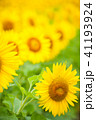 植物 花 ひまわりの写真 41193924