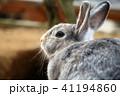 うさぎ 動物 小動物の写真 41194860