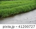 新荘川の葦 41200727