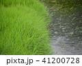 新荘川の葦 41200728