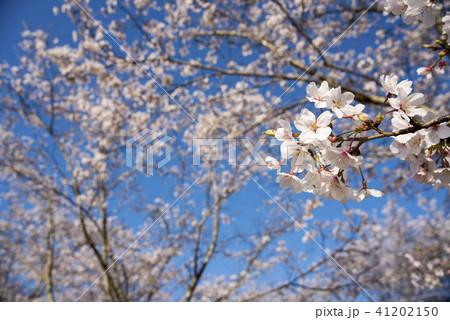 青空の下のソメイヨシノの花 41202150