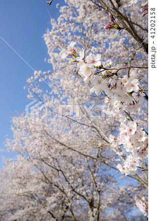 青空の下のソメイヨシノの花 41202158
