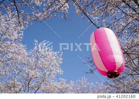 桜並木をバックにピンクの提灯 41202160