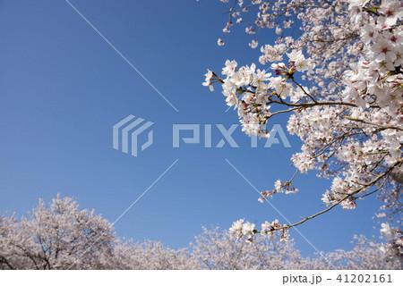青空の下のソメイヨシノの花 41202161