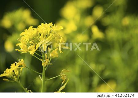 ミズナの花 41202174