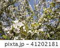 枝をバックにホンカイドウの花のアップ 41202181