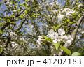 枝をバックにホンカイドウの花のアップ 41202183