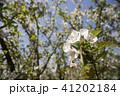 枝をバックにホンカイドウの花のアップ 41202184