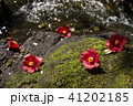 沢の脇のヤブツバキの落花 41202185
