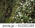 崖に生えるサツマイナモリの群落 41202189