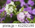 紫の花をバックに2種類のヤエザクラの花 41202190