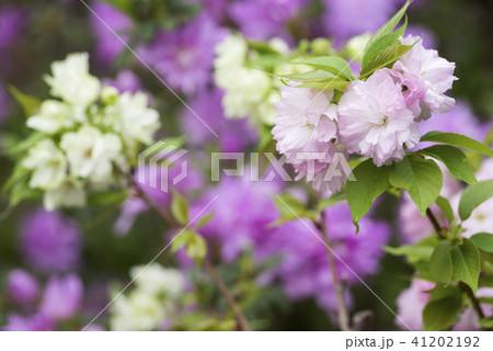 紫の花をバックに2種類のヤエザクラの花 41202192