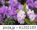 紫の花をバックにピンクのヤエザクラの花 41202193