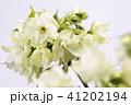 白バックのヤエザクラの花 41202194