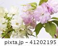 白バックの2種類のヤエザクラの花 41202195