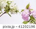 ヤエザクラ 桜 八重咲きの写真 41202196