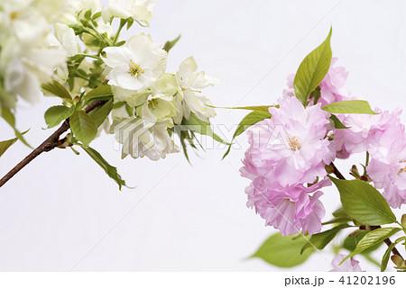 白バックの2種類のヤエザクラの花 41202196