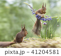 red squirrels with chive and a lupine 41204581
