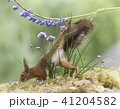 red squirrel is climbing down from a lupine 41204582