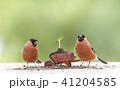 bullfinch with a wheelbarrow with sunflower plant 41204585