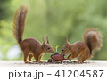 red squirrels with a wheelbarrow with sunflower  41204587