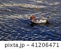 ヒドリガモ オス 野鳥の写真 41206471