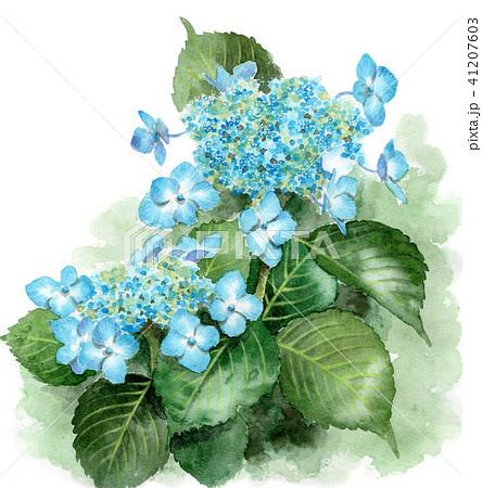 水彩で描いたブルーの額紫陽花 41207603