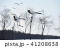 タンチョウ 丹頂鶴 鶴の写真 41208638