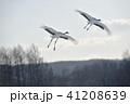タンチョウ 丹頂鶴 鶴の写真 41208639