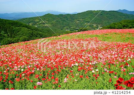 天空のポピー ポピー畑 花畑 41214254