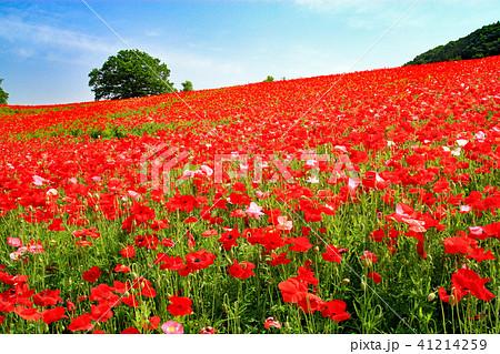 天空のポピー ポピー畑 花畑 41214259