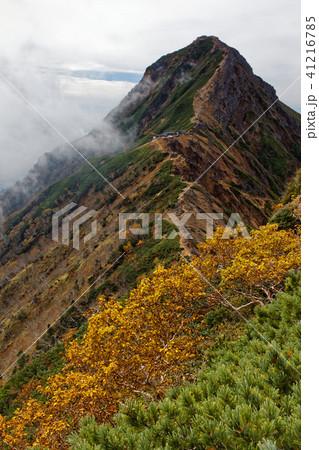 秋色の八ヶ岳連峰・赤岳とダケカンバの黄葉 41216785