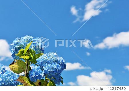 青空と白い雲 そして紫陽花 41217480