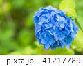 あじさい 紫陽花 花の写真 41217789