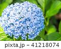 あじさい 紫陽花 花の写真 41218074